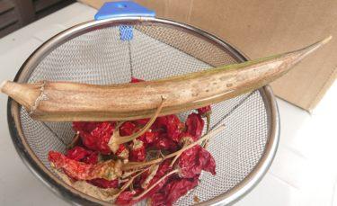 オクラを無限に栽培する方法。(種の作り方)